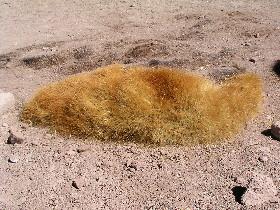 Tephrocactus in Bolivia