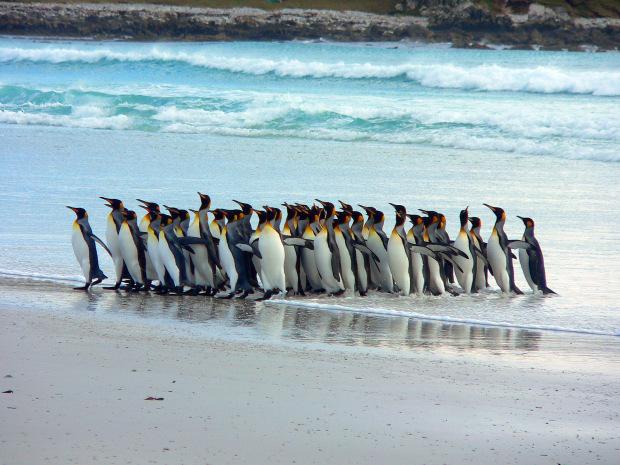 pinguini falklands